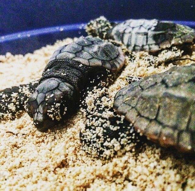 Newly Hatched Turtles - Photo Lucy Collyer - DoE